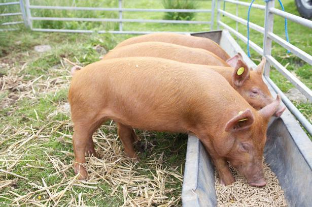 Чем кормить свиней в домашних условиях 506