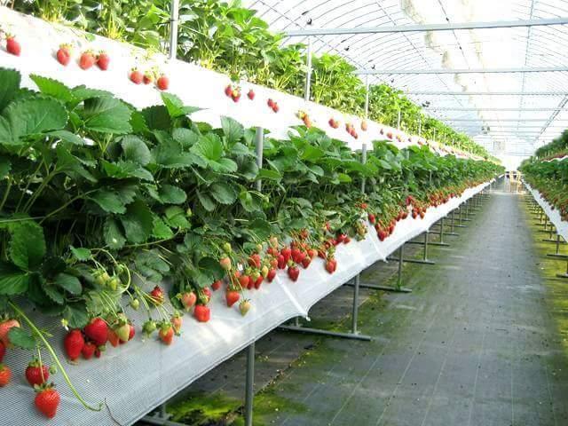 Маты для выращивания клубники 65