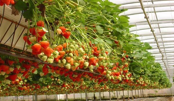 Клубника для промышленного выращивания сорт
