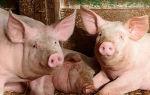 Пригодные для разведения в России породы свиней