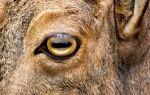 Почему у козы прямоугольные зрачки