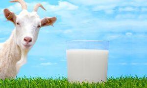 Надо ли перед употреблением кипятить козье молоко и как правильно это делать?