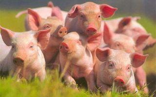 Может ли домашнее свиноводство приносить выгоду