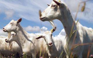 Продолжительность жизни козы: факторы, влияющие на долголетие