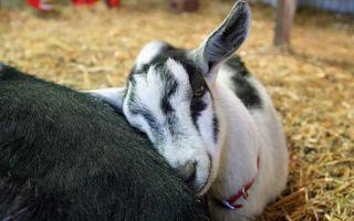 Бруцеллёз у коз: диагностика и лечение заболевания