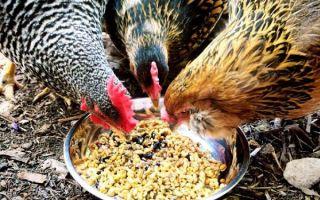 Можно ли кормить кур червями — все за и против, как грамотно это сделать, видео