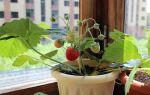 Как вырастить вкусную клубнику или землянику на подоконнике