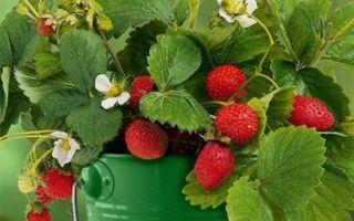 Правила выращивания клубники в горшках дома и на улице