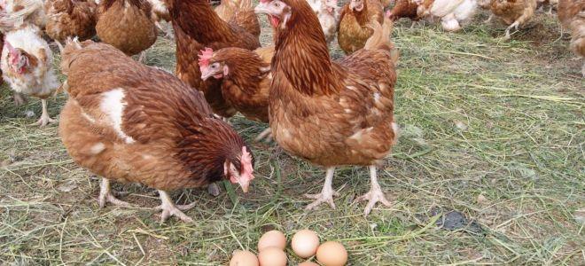 Когда начинают нестись молодки — основные факторы, влияющие на кладку яиц