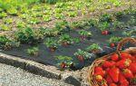 Выращиваем клубнику под пленкой: особенности технологии