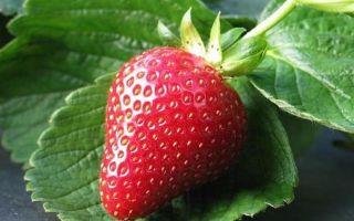 Как правильно обрезать клубнику весной: пошаговая инструкция и советы садоводам