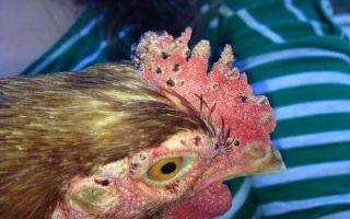 Куриный клещ: причины, признаки и как избавиться в домашних условиях