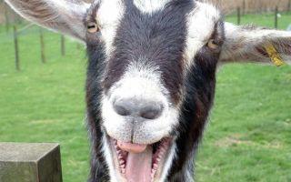 Кастрация козлов: распространенные методы и их особенности