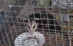 Как бороться с крысами в курятнике: действенные способы избавления от мышей