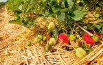Чем мульчировать клубнику: как и каким материалом укрывать растение весной и осенью