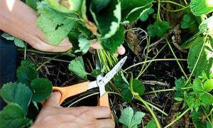 Как проредить и обрезать заросшую садовую клубнику весной, летом и осенью