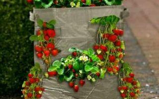 Выращивание клубники в бочке: советы и рекомендации