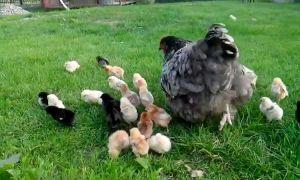 Выращивание молодняка с курами: как подсадить цыплят к наседке, как подготовить ее к насиживанию