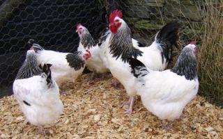 Как выращивать кур на даче: выбор породы, постройка курятника, корма, разведение