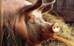 Мясные породы свиней: самые популярные породы во всем мире