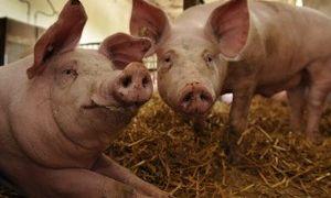 Можно ли резать свинью в охоте, когда она загуляла — особенности убоя и сроки выдержки