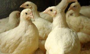 Чем и как кормить бройлеров-цыплят — секреты для роста мышечной массы