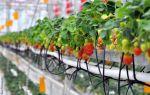 Выращивание клубники на гидропонике: технологии и системы