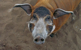 Экзотичная и яркая порода — кистеухая свинья