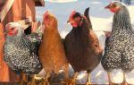 С чего начать разведение кур: особенности выращивания в домашних условиях