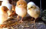 Как вырастить цыпленка в домашних условиях: из яйца и с 1-го дня, секреты содержания