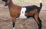 Англо-нубийские козы: достоинства и недостатки породы, особенности содержания и разведения