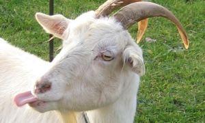 Искусство убоя и разделки коз — как правильно зарезать и освежевать