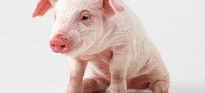 Болезнь Тешена (энзоотический энцефаломиелит) у свиней — профилактика и лечение