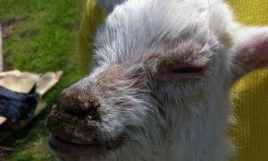 Почему коза кашляет: симптомы, состояние животного, как лечить