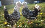 Секреты птицеводства: куры породы гудан, характеристика, плюсы и минусы содержания