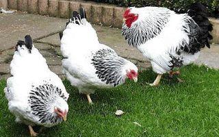 Выгодная порода кур Виандот — характеристика, особенности содержания и ухода, фото