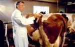 Признаки и лечение бруцеллеза у КРС (крупного рогатого скота)