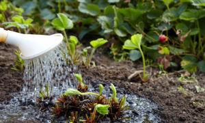 Уход за земляникой и клубникой после сбора урожая: основные принципы