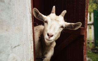 Как назвать козу: особенности и принцип выбора имени