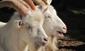Русская белая коза — характеристика породы и преимущества