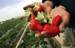 Как правильно рассадить клубнику и землянику весной