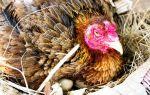 Как вывести цыплят с наседкой: все этапы высиживания яиц и выращивания молодняка