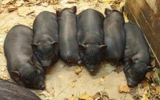Чем кормить вьетнамских поросят и свиней