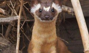 Защита кур: признаки лисы и ласки в курятнике, как поймать и прогнать незваных гостей