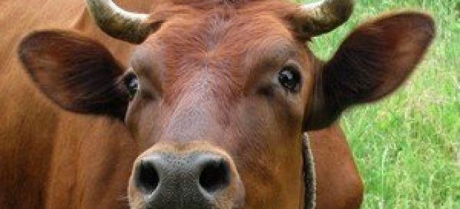 Болезни крупного рогатого скота (КРС), их симптомы, лечение и профилактика