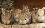 Как правильно разводить и содержать кроликов — все секреты кролиководства