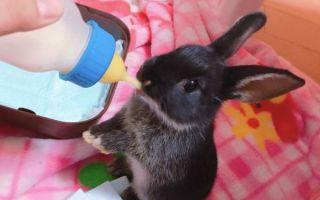 Искусственное вскармливание крольчат: как и чем выкормить малышей  с первых дней жизни