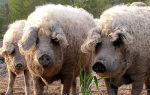 Венгерская мангалица: описание породы, разведение свиней и содержание