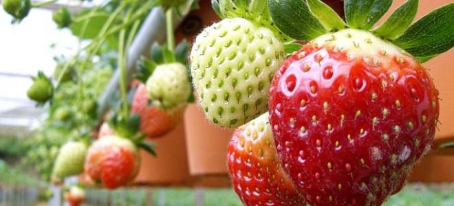 Голландская технология выращивания клубники круглый год в закрытом и открытом грунте