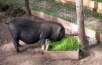 Расходы свиного корма для быстрого и эффективного роста